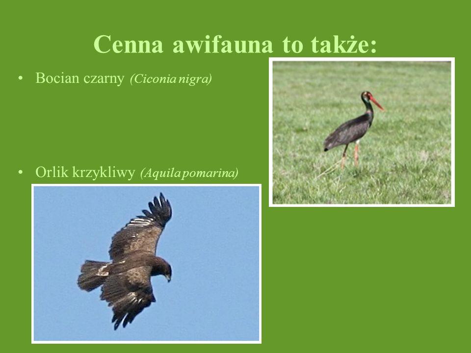 Cenna awifauna to także: Bocian czarny (Ciconia nigra) Orlik krzykliwy (Aquila pomarina)