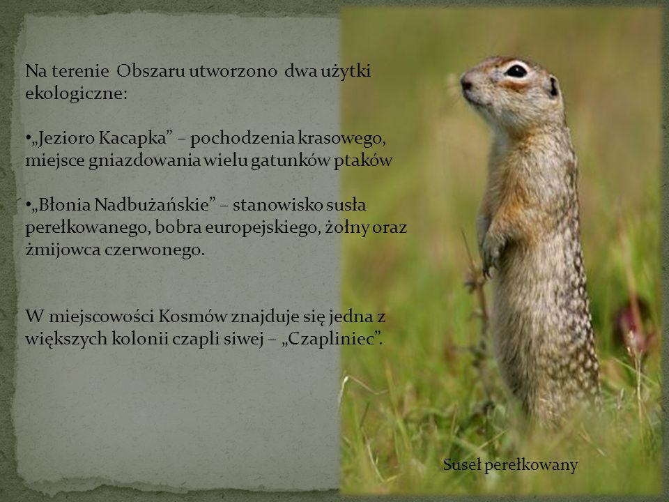 Suseł perełkowany Na terenie Obszaru utworzono dwa użytki ekologiczne: Jezioro Kacapka – pochodzenia krasowego, miejsce gniazdowania wielu gatunków pt