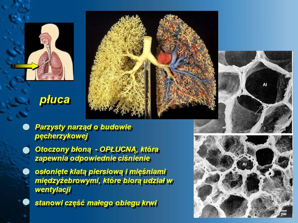 płuca Parzysty narząd o budowie pęcherzykowej Otoczony błoną - OPŁUCNĄ, która zapewnia odpowiednie ciśnienie osłonięte klatą piersiową i mięśniami mię