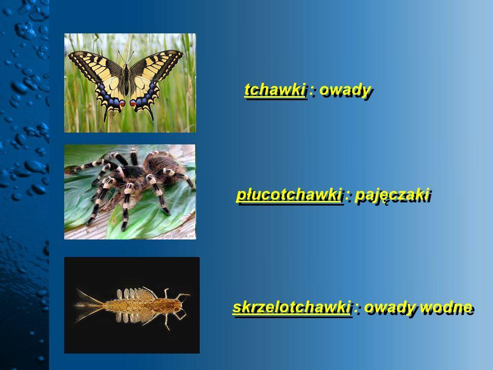 tchawki : owady skrzelotchawki : owady wodne płucotchawki : pajęczaki