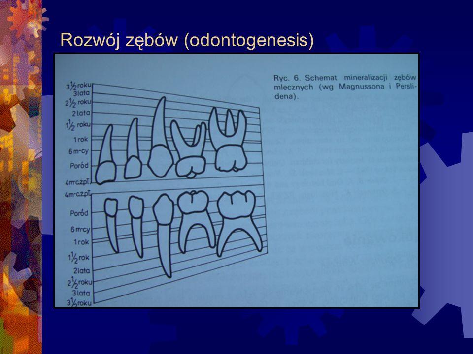 mineralizacja zęba zaczyna się zawsze w najwyższym punkcie korony, potem proces obejmuje szyjkę i przechodzi na korzeń.