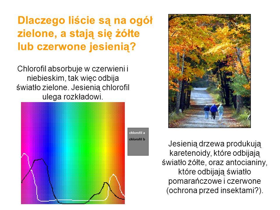 Dlaczego liście są na ogół zielone, a stają się żółte lub czerwone jesienią? Chlorofil absorbuje w czerwieni i niebieskim, tak więc odbija światło zie