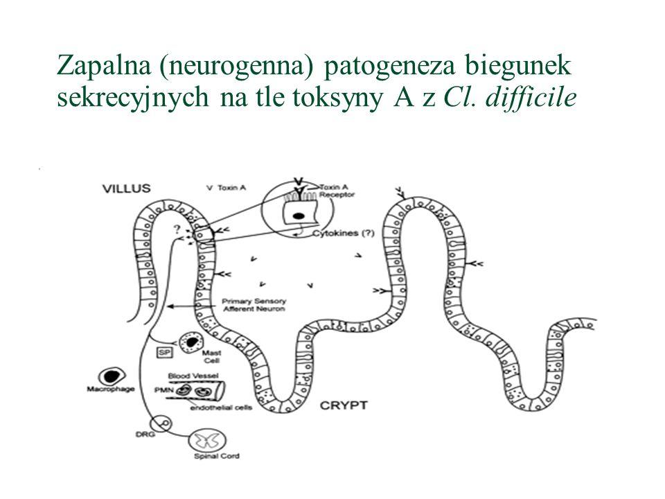 Zapalna (neurogenna) patogeneza biegunek sekrecyjnych na tle toksyny A z Cl. difficile