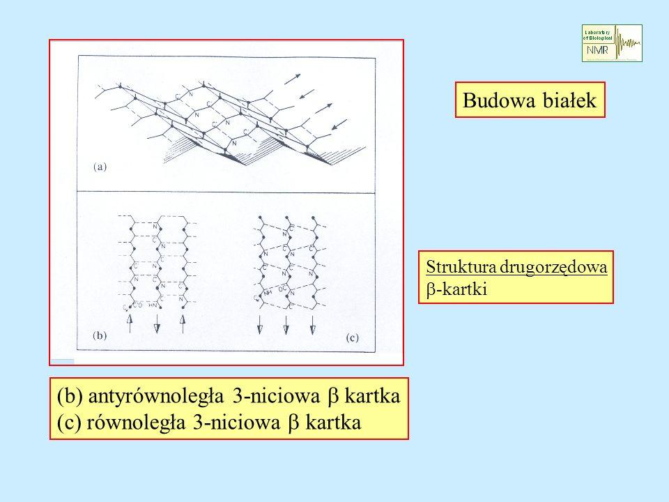 Budowa białek Struktura drugorzędowa -kartki (b) antyrównoległa 3-niciowa kartka (c) równoległa 3-niciowa kartka