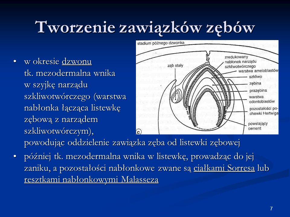 7 Tworzenie zawiązków zębów w okresie dzwonu tk. mezodermalna wnika w szyjkę narządu szkliwotwórczego (warstwa nabłonka łącząca listewkę zębową z narz