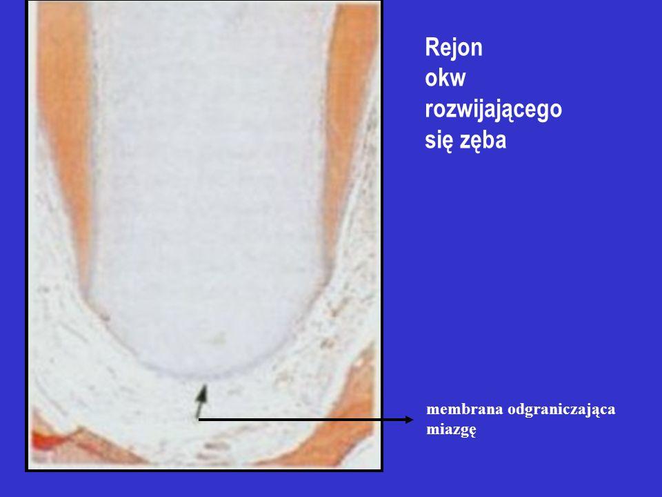 A – pochewka nabłonkowa B – brodawka zęba C – pierwotny otwór wierzchołkowy D – pęcherzyk zęba E – zębina korzeniowa F – warstwa odontoblastów Rozwój
