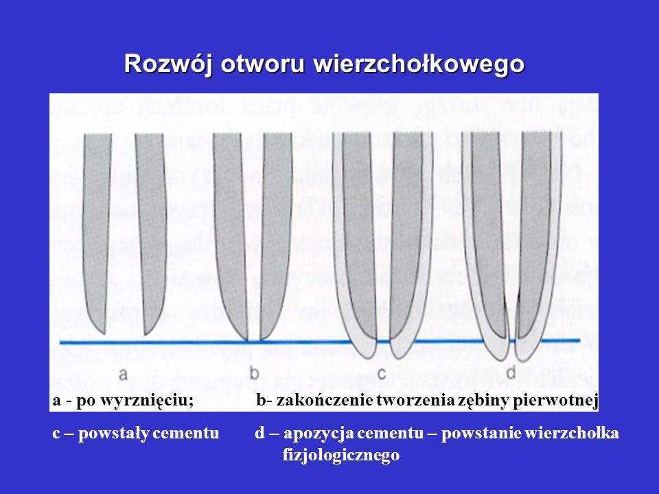 Rozwój otworu wierzchołkowego a - po wyrznięciu; b- zakończenie tworzenia zębiny pierwotnej c – powstały cementu d – apozycja cementu – powstanie wierzchołka fizjologicznego