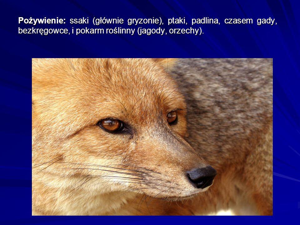 Lisy żyją w parach lub grupach socjalnych, złożonych z dominującej samicy (zwanej alfa), dominującego samca i różnej liczby (3-5) podporządkowanych samic.
