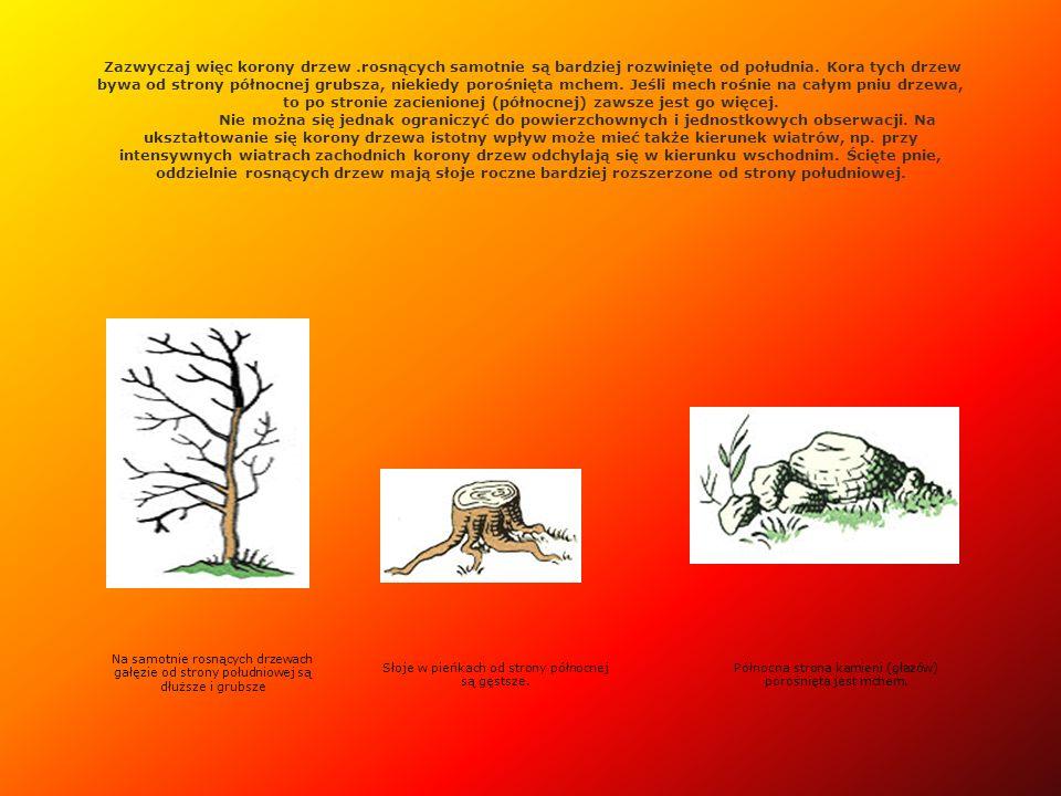 Zazwyczaj więc korony drzew.rosnących samotnie są bardziej rozwinięte od południa. Kora tych drzew bywa od strony północnej grubsza, niekiedy porośnię