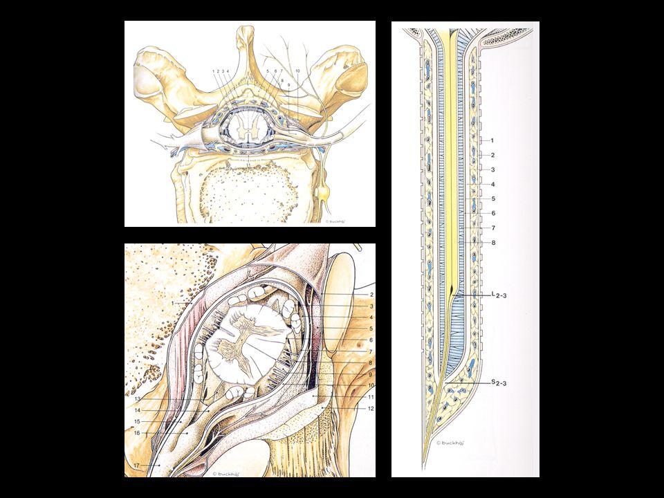 Ważne szczegóły anatomiczne (1) Kształt przestrzeni ZO owalny – odcinek piersiowy i górny lędźwiowy trójkątny – środkowy i dolny odcinek lędźwiowy Zmienna szerokość przestrzeni ZO w różnych odcinkach kręgosłupa Luka więzadłowa w środkowej centralnej części więzadła żółtego