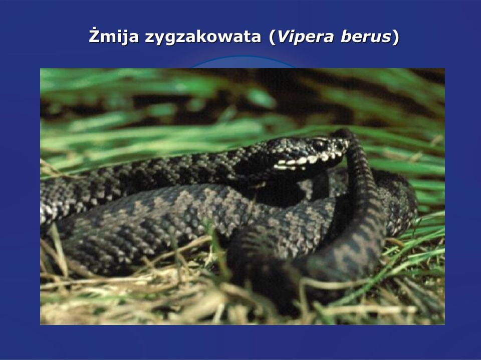 Żmija zygzakowata (Vipera berus)