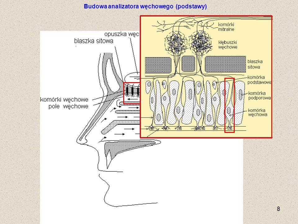 POLITECHNIKA SZCZECIŃSKA, IIChiPOŚ 9 Przemieszczanie się fali depolaryzacji wzdłuż komórki synapsy Budowa analizatora węchowego (podstawy)