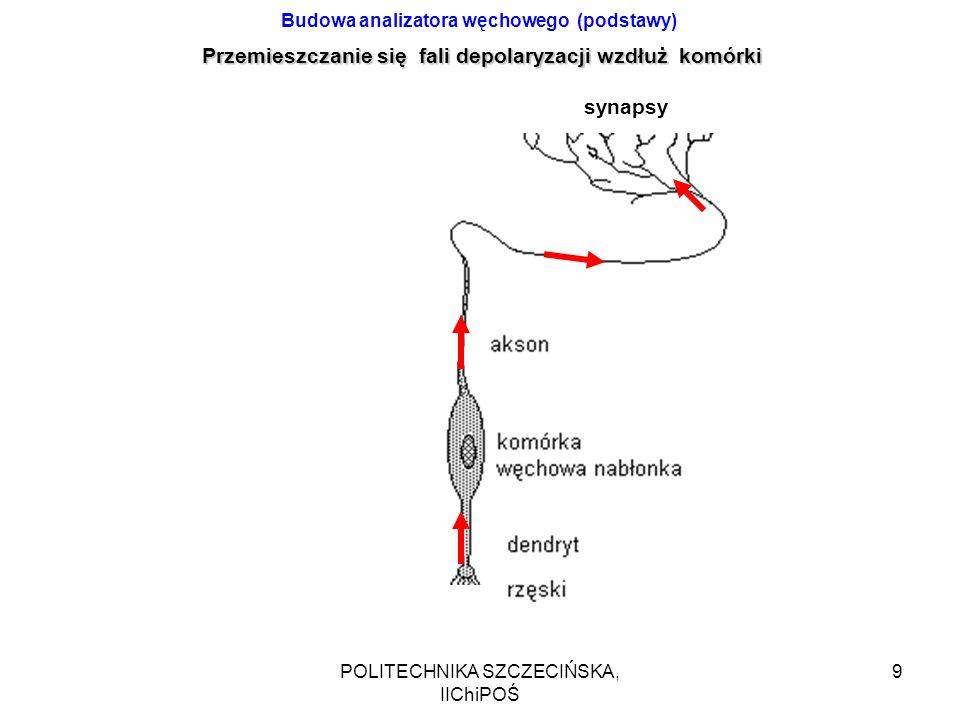 POLITECHNIKA SZCZECIŃSKA, IIChiPOŚ 10 czujniki analizator Struktura warstwowa Konwergencja i dywergencja Połączenia zwrotne Zmienne wagi i progi pobudzenia (uczenie się - wzmacnianie określonych połączeń synaptycznych)