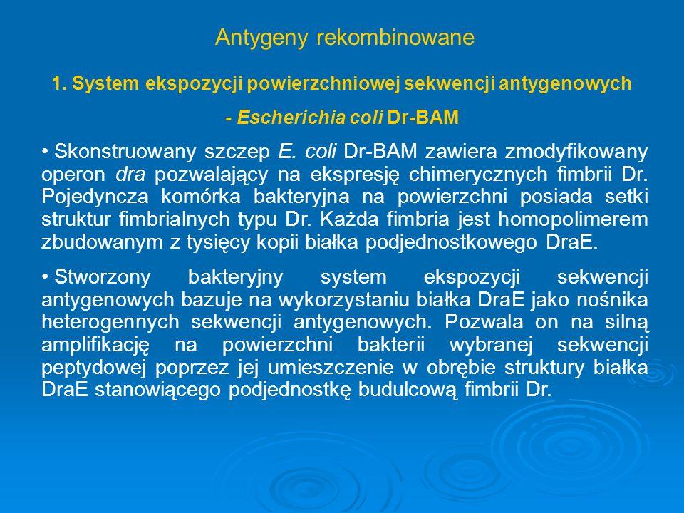 1. System ekspozycji powierzchniowej sekwencji antygenowych - Escherichia coli Dr-BAM Skonstruowany szczep E. coli Dr-BAM zawiera zmodyfikowany operon