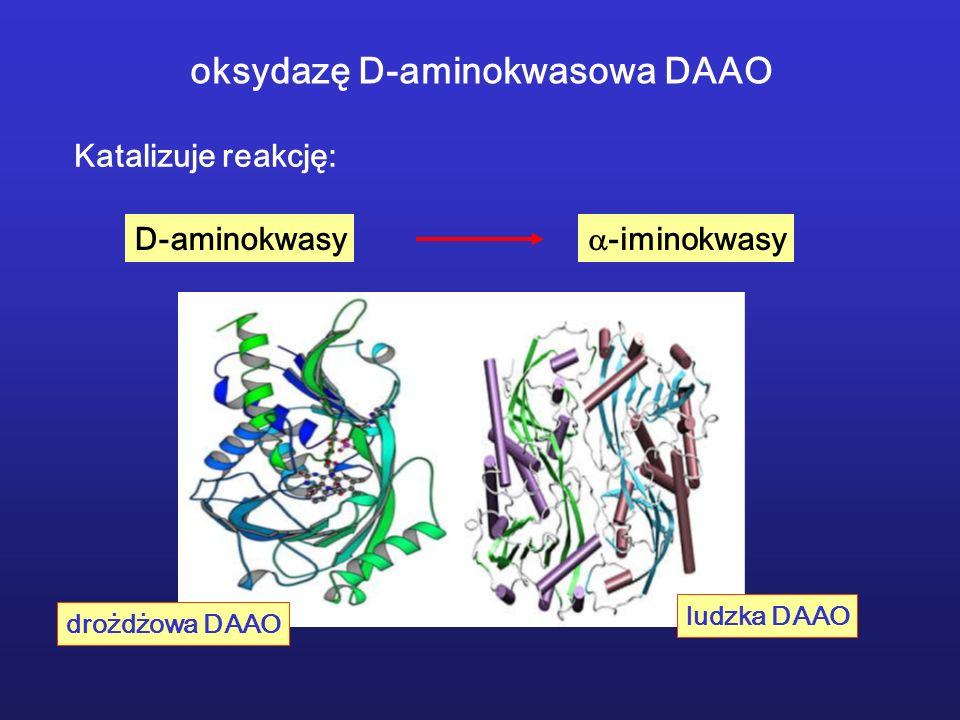 oksydazę D-aminokwasowa DAAO Katalizuje reakcję: D-aminokwasy -iminokwasy drożdżowa DAAO ludzka DAAO