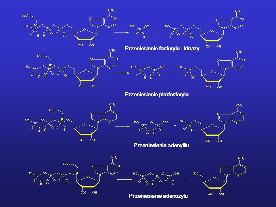 Przeniesienie fosforylu - kinazy Przeniesienie pirofosforylu Przeniesienie adenylilu Przeniesienie adenozylu