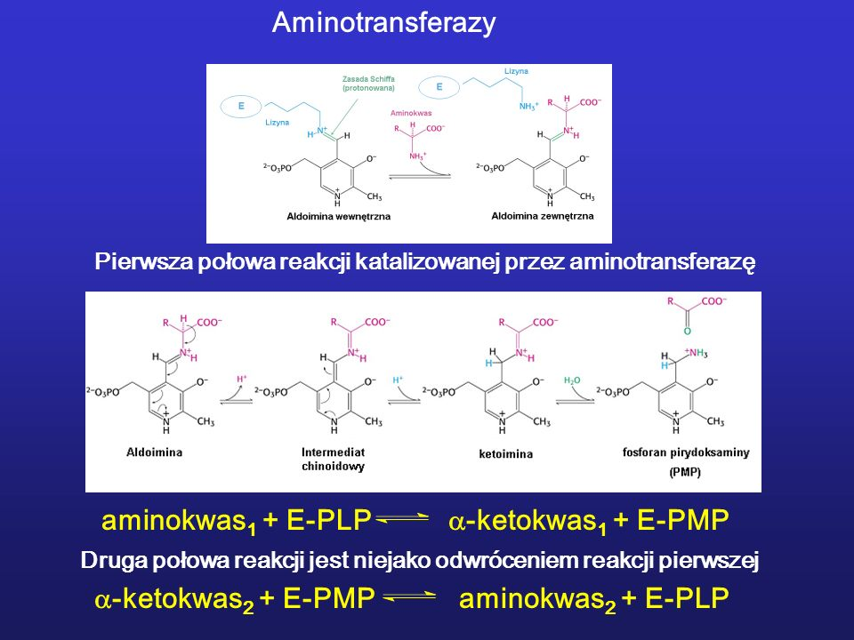 aminokwas 1 + E-PLP -ketokwas 1 + E-PMP Pierwsza połowa reakcji katalizowanej przez aminotransferazę Druga połowa reakcji jest niejako odwróceniem rea
