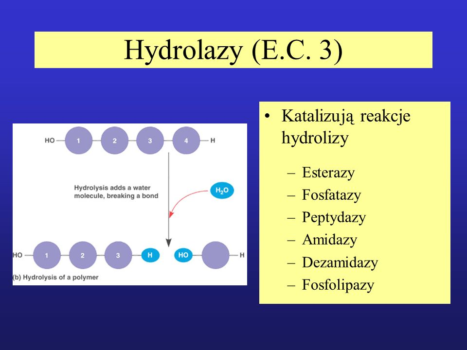 Hydrolazy (E.C. 3) Katalizują reakcje hydrolizy –Esterazy –Fosfatazy –Peptydazy –Amidazy –Dezamidazy –Fosfolipazy