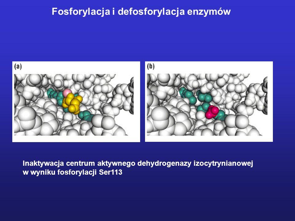 Inaktywacja centrum aktywnego dehydrogenazy izocytrynianowej w wyniku fosforylacji Ser113 Fosforylacja i defosforylacja enzymów