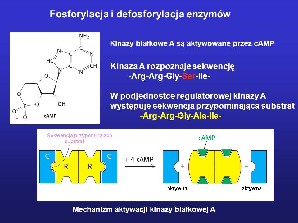 Kinazy białkowe A są aktywowane przez cAMP Mechanizm aktywacji kinazy białkowej A Kinaza A rozpoznaje sekwencję -Arg-Arg-Gly-Ser-Ile- W podjednostce r