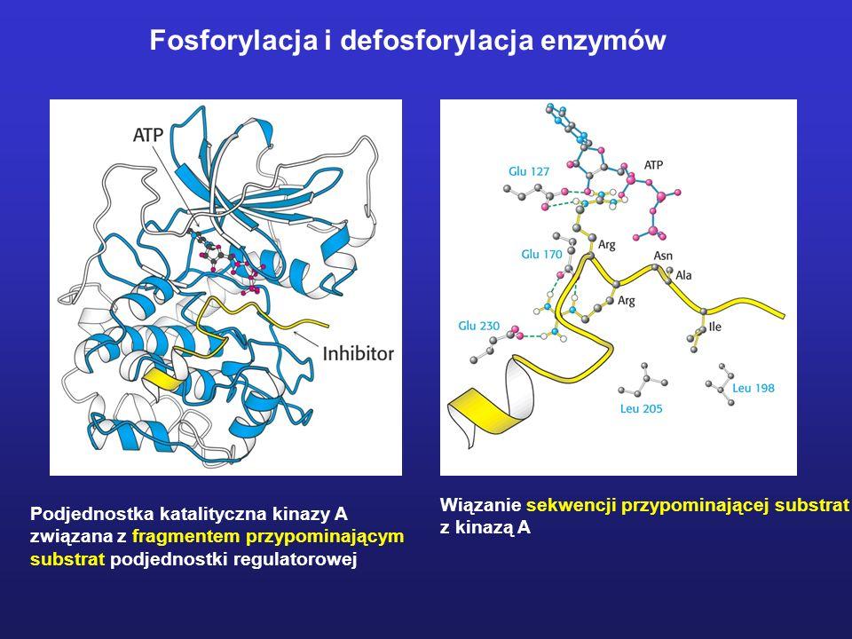 Fosforylacja i defosforylacja enzymów Podjednostka katalityczna kinazy A związana z fragmentem przypominającym substrat podjednostki regulatorowej Wią