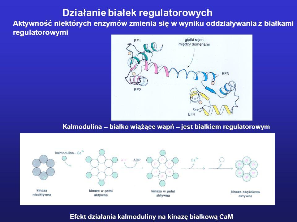 Działanie białek regulatorowych Aktywność niektórych enzymów zmienia się w wyniku oddziaływania z białkami regulatorowymi Kalmodulina – białko wiążące
