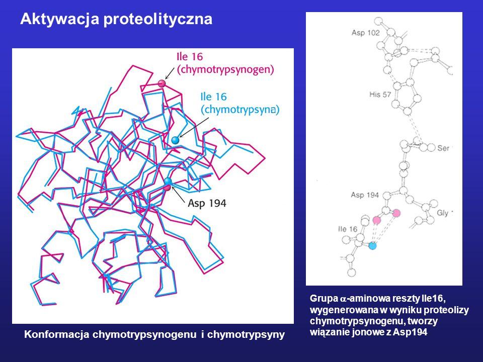 Konformacja chymotrypsynogenu i chymotrypsyny Grupa -aminowa reszty Ile16, wygenerowana w wyniku proteolizy chymotrypsynogenu, tworzy wiązanie jonowe