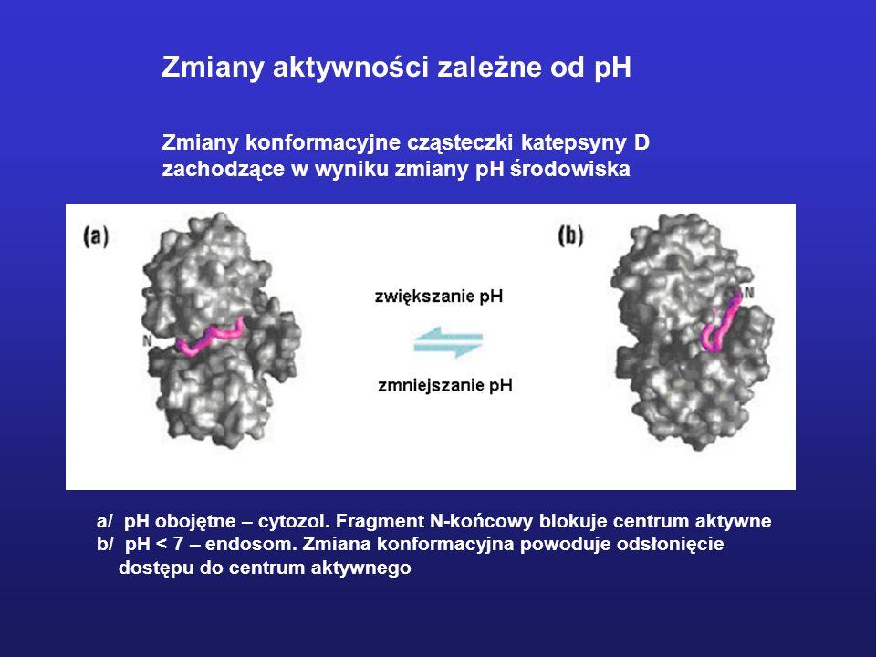 Zmiany konformacyjne cząsteczki katepsyny D zachodzące w wyniku zmiany pH środowiska a/ pH obojętne – cytozol. Fragment N-końcowy blokuje centrum akty