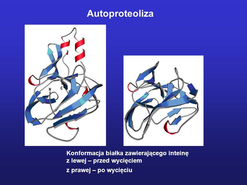Autoproteoliza Konformacja białka zawierającego inteinę z lewej – przed wycięciem z prawej – po wycięciu
