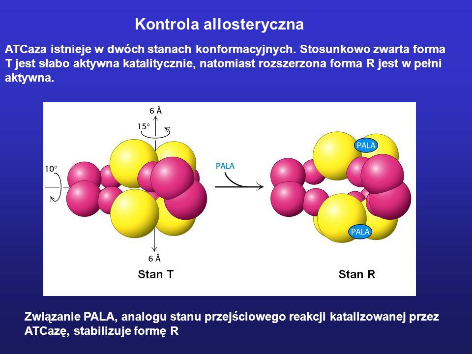 ATCaza istnieje w dwóch stanach konformacyjnych. Stosunkowo zwarta forma T jest słabo aktywna katalitycznie, natomiast rozszerzona forma R jest w pełn