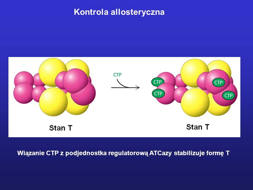 Wiązanie CTP z podjednostka regulatorową ATCazy stabilizuje formę T Kontrola allosteryczna