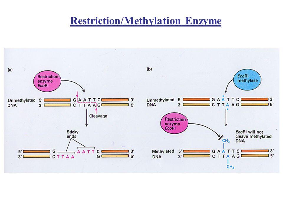 Typ I RM Jest najbardziej skomplikowanym systemem, złożonym z trzech podjednostek strukturalno-funkcjonalnych : Podjednostka S – rozpoznaje sekwencję DNA Podjednostka M – modyfikuje DNA Podjednostka R – aktywność restrykcyjna Podjednostki S i M tworzą m6 A-metylazę DNA o stechiometrii M 2 S 1, która rozpoznaje i modyfikuje DNA w obrębie określonej sekwencji Kompleks 3 podjednostek R 2 M 2 S 1 jest enzymem restrykcyjnym (wymaga ATP) gdy napotka niezmodyfikowany DNA Cięcie następuje w różnych niezdefiniowanych odległościach od miejsca rozpoznania, zwykle kilkaset do kilku tysięcy par zasad