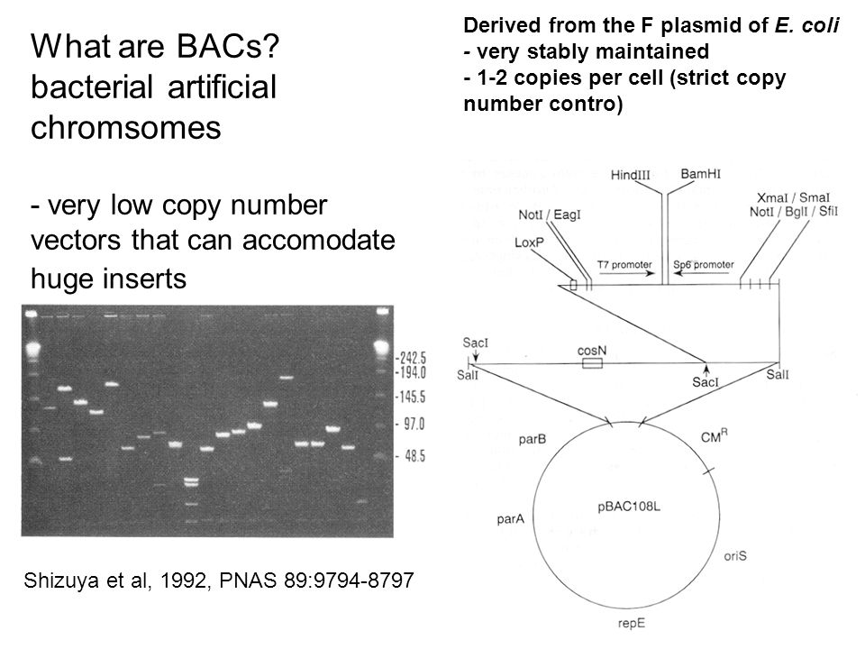 Whats a YAC? Yeast artificial chromsome self-replicating vector that can be maintained in yeast Can accommodate large insert fragments Reeves et al.,