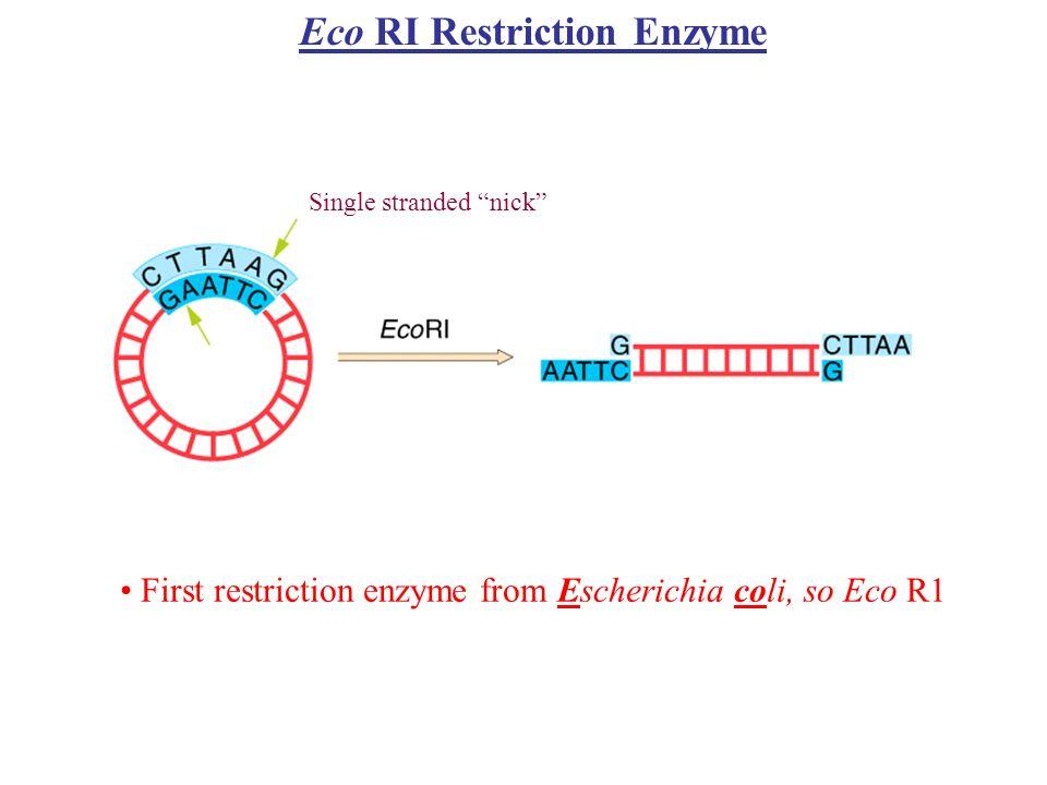 Typ II RM W zdefiniowanych warunkach posiadają wysoką specyficzność rozpoznawanej sekwencji Dają powtarzalne produkty trawienia endonukleolitycznego Nie wymagają ATP i S-adenozylo-L-metioniny, a jedynie jonów Mg Aktywności metylazy i endonukleazy rozdziolone są między dwa odrębne białka kodowane przez różne geny Rozpoznają krótkie najczęściej palindromiczne sekwencje 4-8 pz i trawią DNA w obrębie sekwencji rozpoznania lub w pewnej ściśle określonej odległości od niej Wyróżnia się podtypy lub klasy w obrębie rodziny II