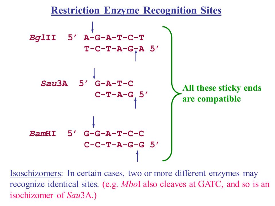 Restriction Enzyme Recognition Sites Restriction sites are general palindromic: Bam H1 site: 5-GGATCC-3 3-CCTAGG-5