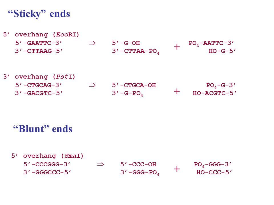 Z = beta galactosidase, Y = lactose permease.