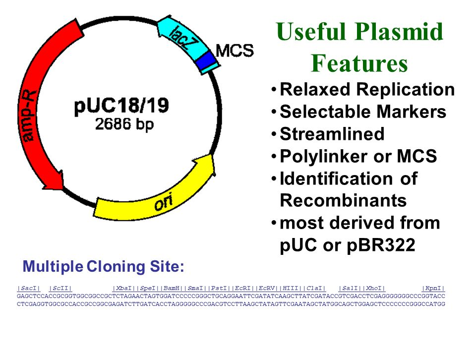 Example 2: pUC19 as a vector used to clone fragments 2,686 bp Amp r gene Regulatable segment of lacZ gene for -galactosidase EcoRI site not within any