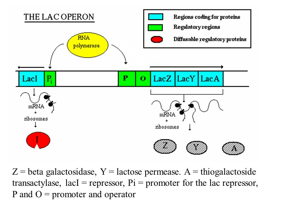 Major Advance: Blue/White Screening E. coli normally produces - galactosidase Production is under control by the lac operon