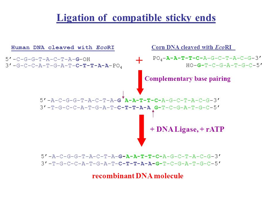Grupy enzymów pozostawiających komplementarne końce Istnieją grupy enzymów rozpoznające odmienne sekwencje lecz pozostawiające po trawieniu komplementarne końce DNA.