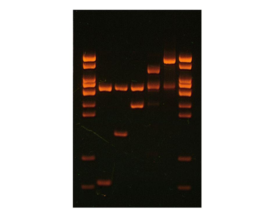 Tworzenie nowych miejsc restrykcyjnych przez łączenie końców DNA Nowe miejsca restrykcyjne w zrekombinowanym DNA mogą powstawać w miejscu ligacji naturalnych końców DNA bądź po wypełnieniu ich fragmentem Klenowa polimerazy DNA I: powstanie nowego miejsca przypadkowo: SspI/ClaI (Klenow) - AAT/CGAT odtworzone ClaI (ATCGAT) ClaI (Klenow)/SspI - ATCG/ATT odtworzone ClaI EcoRV/ClaI (Klenow) - GAT/CGAT odtworzone ClaI dam-zależne (gATCGAT) EcoRI (Klenow)/PvuII - GAATT/CTG odtworzone EcoRI (GAATTC)