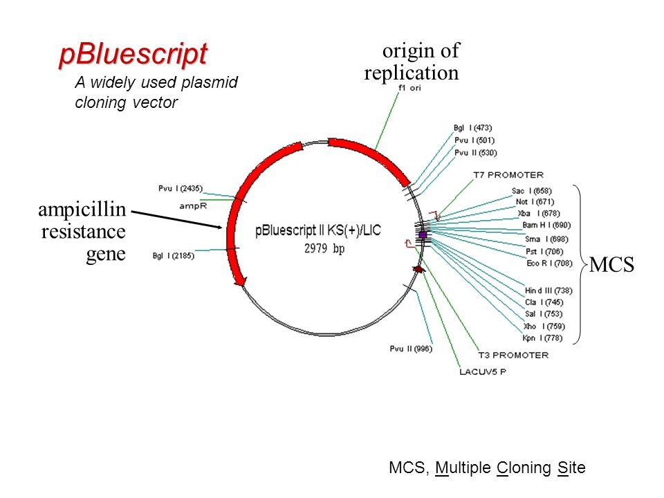 Phagemids Characteristics of both phages and plasmids e.g. pBluescript (pBS)