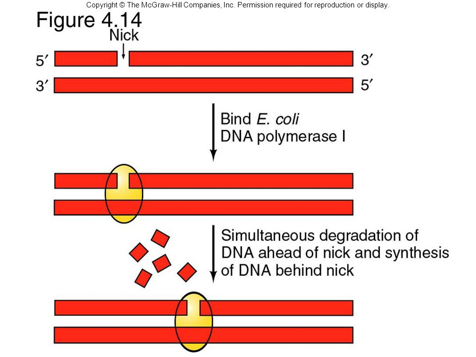 Copyright © The McGraw-Hill Companies, Inc. Permission required for reproduction or display. Making a cDNA Library Nick translation Fig. 4.14