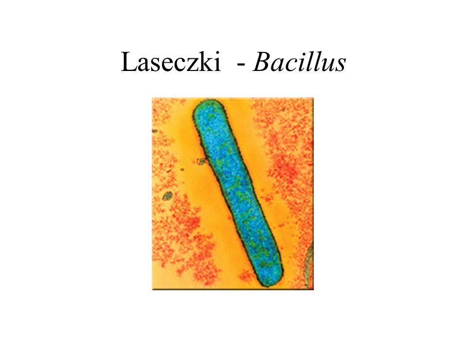 Laseczki - Bacillus
