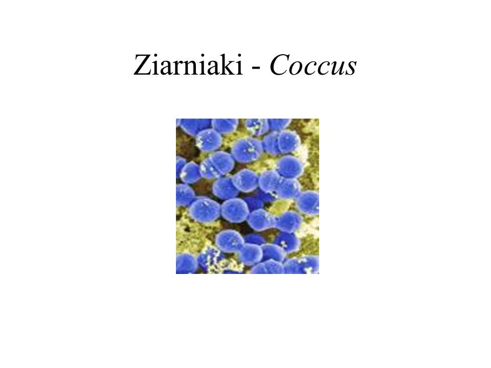 Ziarniaki - Coccus
