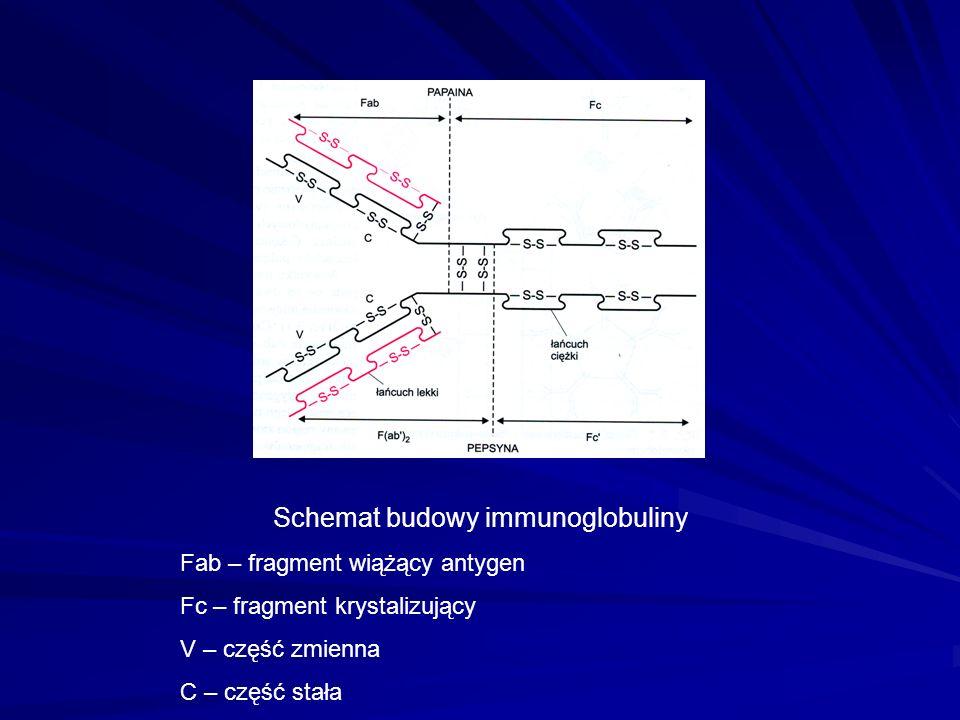 Schemat budowy immunoglobuliny Fab – fragment wiążący antygen Fc – fragment krystalizujący V – część zmienna C – część stała