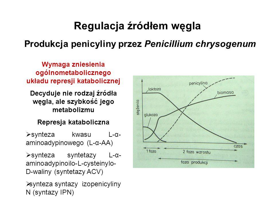 Regulacja źródłem węgla Produkcja penicyliny przez Penicillium chrysogenum Wymaga zniesienia ogólnometabolicznego układu represji katabolicznej Decydu