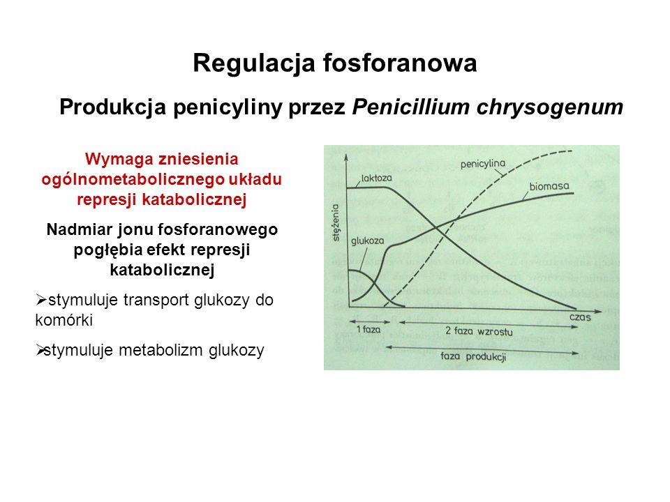 Regulacja fosforanowa Produkcja penicyliny przez Penicillium chrysogenum Wymaga zniesienia ogólnometabolicznego układu represji katabolicznej Nadmiar