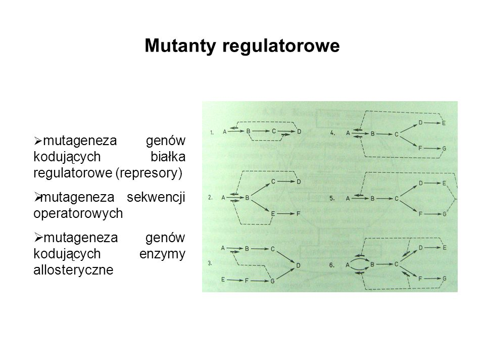 Mutanty regulatorowe mutageneza genów kodujących białka regulatorowe (represory) mutageneza sekwencji operatorowych mutageneza genów kodujących enzymy