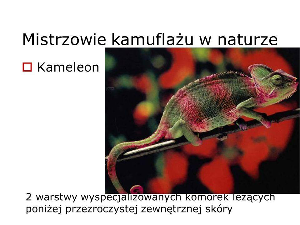 2 warstwy wyspecjalizowanych komórek leżących poniżej przezroczystej zewnętrznej skóry Mistrzowie kamuflażu w naturze Kameleon