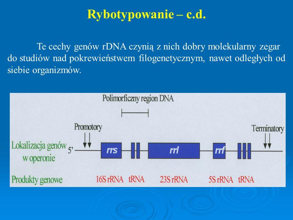 Te cechy genów rDNA czynią z nich dobry molekularny zegar do studiów nad pokrewieństwem filogenetycznym, nawet odległych od siebie organizmów. Rybotyp